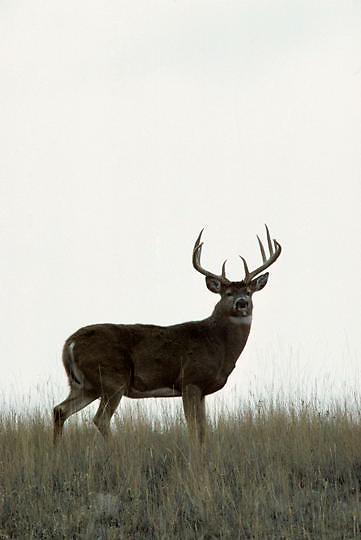 Whitetail Deer, (Odocoileus virginianus) Buck on western prairie. Evening Fall rut.