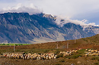 Herding sheep and goats, Nedong, Tibet (Xizang), China.