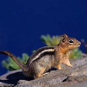 Golden-mantled Ground Squirrel, (Citellus lateralis) Oregon.