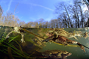 Common european toad {Bufo bufo} two males attempting to mate with one female. Solling in the Central German Upland. Selent, Germany | Relativ langsam und stoisch wandern die Erdkröten (Bufo bufo ) im Frühjahr zu ihren angestammten Laichgewässern. Fühlt sich aber ein Männchen, das sich bereits auf seiner viel größeren Auserwählten festgeklammert hat, von einem Rivalen herausgefordert, kann es zu hitzigen Gefechten und abwehrenden Tritten kommen. Bedingt durch einen natürlicherweise sehr großen Überschuss an männlichen Erdkröten sind sowohl auf der Wanderung als auch im Wasser solche Szenen an der Tagesordnung und die lauten Protestrufe von Männchen, die sich in der Umklammerung eines allzu eifrigen Geschlechtsgenossen wiederfinden, begleiten das Schauspiel. Selent, Deutschland