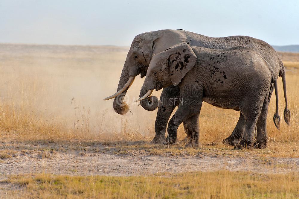 African elephants (Loxodonta africana)  in Amboseli National Park, Kenya.