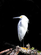 Snowy Egret on Mangrove Branch
