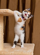 Cute calico cat kitten Sloan of cat instagram Lennox and Sloan, Two Lucky Rescue Cats enjoys her new scratching post. Photo by portrait and pet photographer Mara Robinson Photography in Tallmadge, Ohio