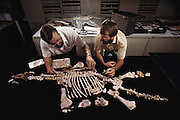 Paleontologists reconstruct the skeleton of a plesiosaur from fossil remain. The pinkish color of the 'bones' shows that they have been opalized, the original bone material replaced with opal (hydrous silicon oxide) to form the permanent fossil. The fossil is about 120 million years old, and was found at Coober Pedy in Australia. The plesiosaur was a marine carnivorous dinosaur that thrived in the mid to late Cretaceous Period. Photographed at the Sydney Museum, Australia.  [1989]