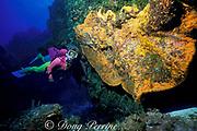 diver examines elephant ear sponge, <br /> Agelas clathrodes, Cozumel, Mexico, <br /> ( Caribbean Sea )  MR 140 -MR 142