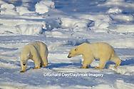 01874-07315 Polar Bear (Ursus maritimus) on the ice of Hudson Bay  Churchill MB