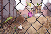 Flower growing on a fence Morning Glory