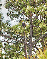Bald Eagle (Haliaeetus leucocephalus) and Great Egret (Ardea alba). Black Point Wildlife Drive, Merritt Island Wildlife Refuge. Merritt Island, Brevard County, Florida. Image taken with a Nikon D3 camera and 80-400 mm VR lens.