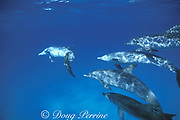 a gang of Atlantic spotted dolphins, Stenella frontalis, pursues a pair of bottlenose dolphins, Tursiops truncatus, Little Bahama Bank, Bahamas ( Western Atlantic Ocean )