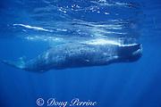 sperm whale, Physeter macrocephalus, Commonwealth of Dominica ( Eastern Caribbean Sea )
