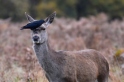 © Licensed to London News Pictures. 09/11/2019. LONDON, UK.  A red deer doe receives a head inspection by a crow in Richmond Park during the annual rut.  The rut occurs during October and November where stags compete for mating rights.  Photo credit: Stephen Chung/LNP