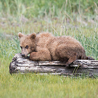 A brown bear yearling cub playfully inspects a  log in Katmai National Park