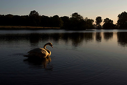 © Licensed to London News Pictures. 25/06/2020. London, UK. A swan sits on the lake in warm weather in the early morning at Richmond Park in west London. Record temperatures are expected this week as the UK starts to relax lockdown restrictions, introduced earlier this year to prevent the spread of COVID-19.<br /> Photo credit: Marcin Nowak/LNP