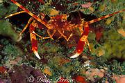 "long-handed spiny lobster or "" ula "", <br /> Justitia longimanus, A'u A'u crater<br /> South Kona, Hawaii, USA ( Pacific )"