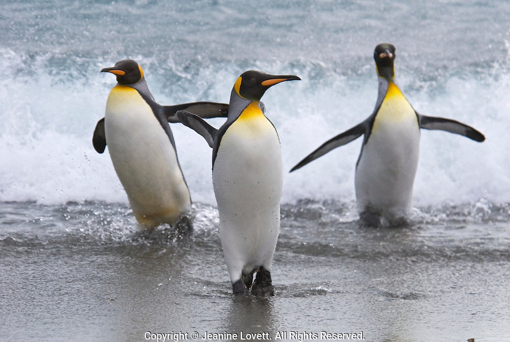 King Penguin leaving the sea and return to land throw their wing back and call for their chicks with wave splashing in the background.