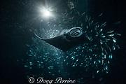 reef manta ray, Manta alfredi, feeding on plankton attracted by light at night, among schooling Hawaiian flagtail or aholehole, Kuhlia xenura ( endemic species), in Makako Bay, Keahole, Kona, Hawaii Island ( the Big Island ), Hawaii, U.S.A. ( Central Pacific Ocean )