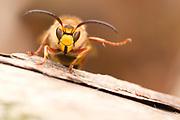 Male hornet (Vespa crabro) beneath nest site. Surrey, UK.