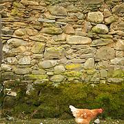 Chicken at small village in the Spanish province of Castilla León