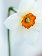 Narcissus 'Fire Tail' - small-cupped daffodil