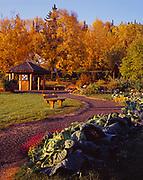 O.S. Cross giant cabbages, Brassica oleracea, Georgeson Botanical Garden, University of Alaska Fairbanks Experimental Farm, Fairbanks, Alaska.