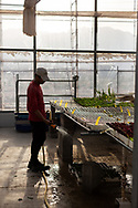 A farmer watering seeds and plants inside the greenhouses of The Sahara Forest Project on the outskirts of Aqaba, on Jordan's southern Red Sea coastline. The farm uses desalinated sea water and greenhouses to sustainably farm crops in land that was once aris desert.
