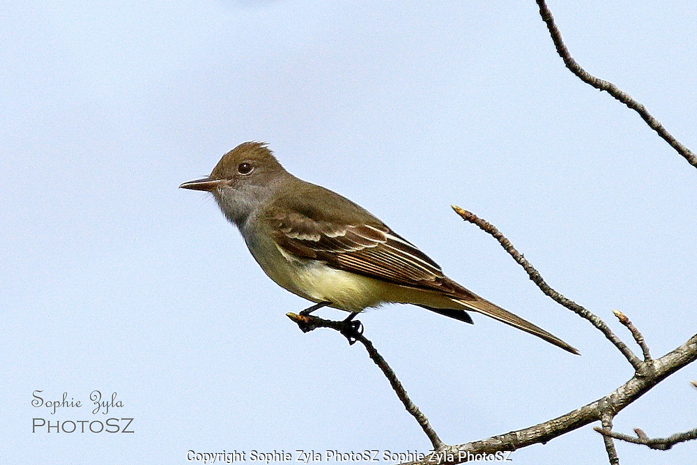 Great Crested Flycatcher of Cape Cod