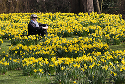 © Licensed to London News Pictures. 10/03/2015. London, UK. A woman relaxes amongst the daffodils during sunny spring weather in St James's Park in London today. Photo credit : Vickie Flores/LNP