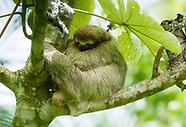 Three-toed Sloth, Bradypus variegatus