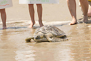 A rehabilitated Green sea turtle crawls back into the Atlantic ocean during the release of rescued sea turtles May 14, 2015 in Isle of Palms, South Carolina. The turtles were rescued along the coast and rehabilitated by the sea turtle hospital at the South Carolina Aquarium in Charleston.