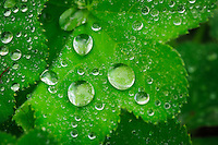 Water droplets cling to the leaves of Lady's Mantle almost all day long, whether from the dew, the rain,  or from watering the flowerbeds. It's always beautiful.<br /> <br /> ©2015, Sean Phillips<br /> http://www.RiverwoodPhotography.com