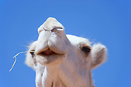 Face of a white dromedary (camel), against clear blue sky. Shallow depth of field.