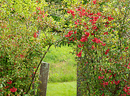 Chaenomeles around the entrance to a small garden at  Firefly Farm, Hauverville, New York, U.S.A.