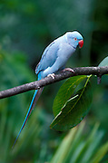 A blue phase of the normally green rose-ringed parrot (Psittacula krameri) female. Range: Sub-saharan Africa to India, Burma.