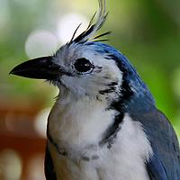 Central America, Costa Rica, Guanacaste, tamarindo. White-Throated Magpie Jay.