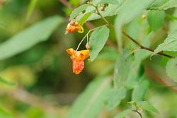 Oranje springzaad, Impatiens capensis
