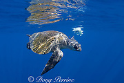 olive ridley sea turtle, Lepidochelys olivacea, accompanied by small pilot fish, Naucrates ductor, circles remains of jumbo squid or Humboldt squid, off Baja California, Mexico ( Eastern Pacific Ocean )