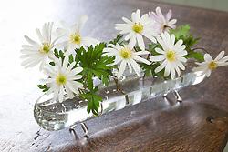 Anemone blanda 'White Splendour' in glass table vase