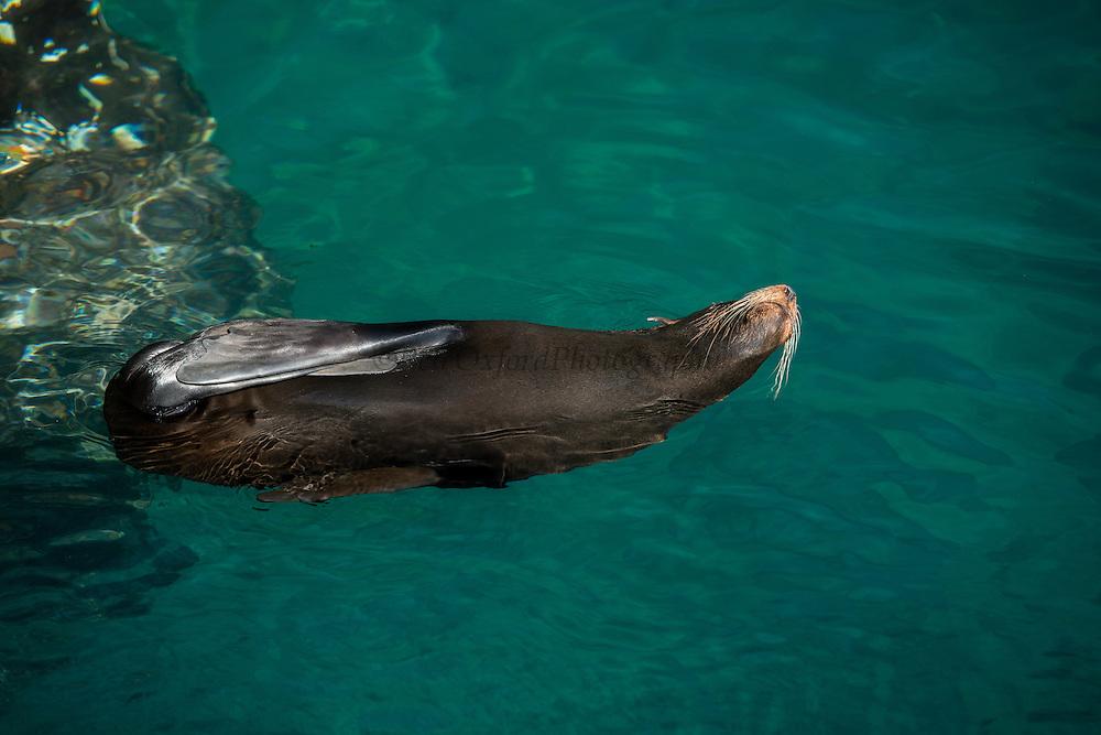 Galapagos Fur Seal Floating (Arctocephalus galapagoensis) <br /> Puerto Egas<br /> Santiago Island<br /> Galapagos<br /> Ecuador, South America <br /> ENDEMIC TO GALAPAGOS.