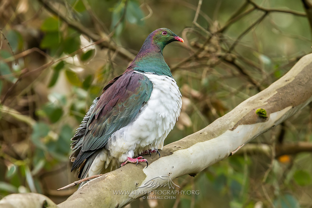 New Zealand Wood Pigeon resting under the canopy of a Southland forest.