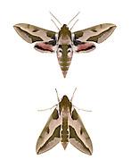 69.013 (1986)<br /> Spurge Hawk-moth - Hyles euphorbiae
