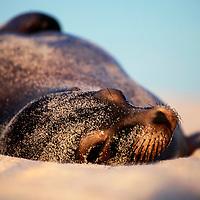 South America, Ecuador, Galapagos Islands. Sea Lion in sand and sun on Mosquera Island.