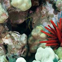 Slate Pencil Urchin, Heterocentrotus mammillatus,  on Maui, Hawaii