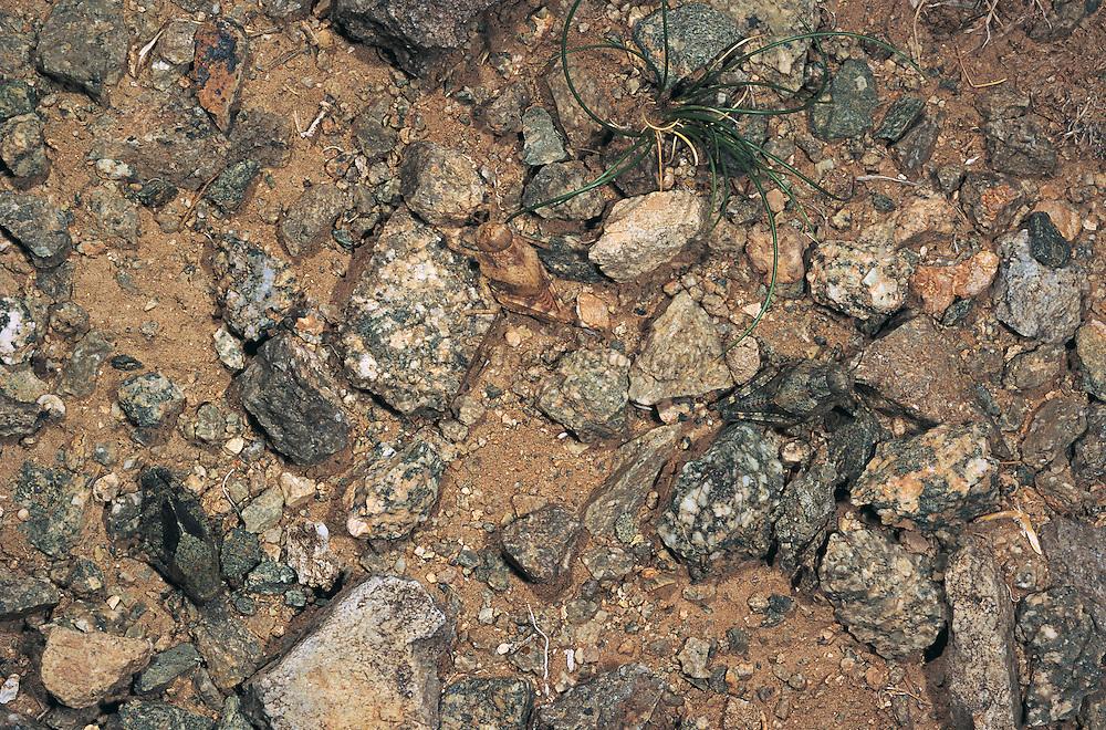 Stone-mimic grasshoppers<br /> Gobi Desert<br /> Mongolia