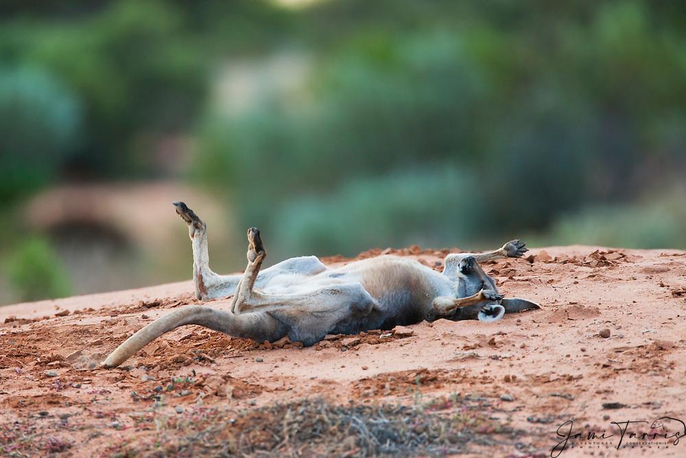 Male red kangaroos  (Macropus rufus) rolling over during a nap,  Sturt Stony Desert,  Australia