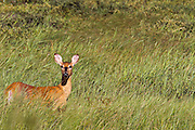 A deer looks for trouble in Voyager National Park in the Border Lakes region of northern Minnesota and northwestern Ontario. This forested, lake-filled landscape covers 5.1 million acres surrounding Quetico Provincial Park, Voyageurs National Park and the Boundary Waters Canoe Area Wilderness. This region is part of the Superior National Forest in northeastern Minnesota.