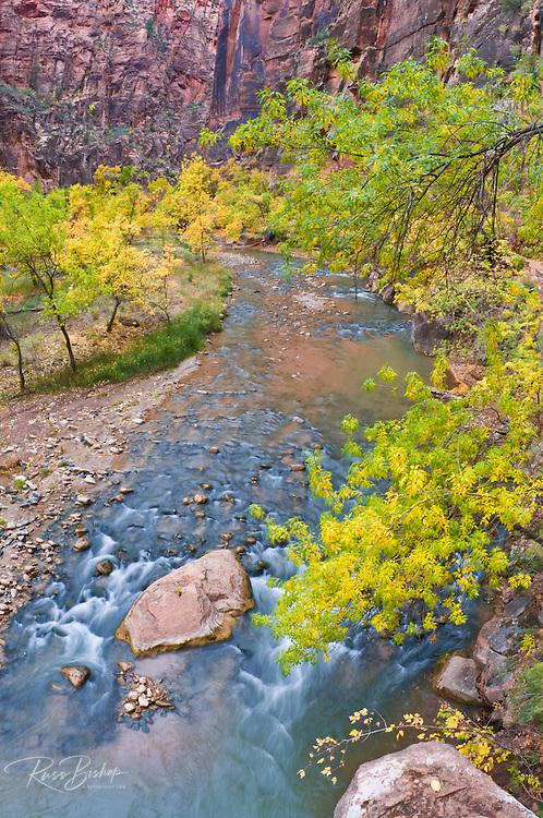 Fall color along the Virgin River, Zion National Park, Utah