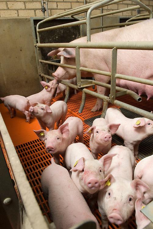 Nederland, Nijmgen, 02 april 2008.Varkenshouderij. Gangbaar bio-industrie bedrijf met varkens. Zeug met jonge biggen. .Foto (c) Michiel Wijnbergh