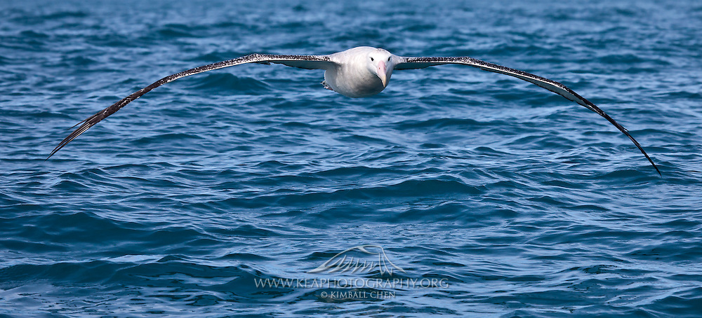 55x25cm print of a Wandering Albatross posed in an arch-shaped rainbow, New Zealand.