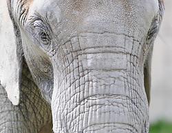 08.06.2011,Tiergarten Schoennbrunn, Wien, AUT, Chronik, im Bild Elefant // elephant, chronicle, AUT, Vienna, zoological garden Schoennbrunn, 2011-08-06, EXPA Pictures © 2011, PhotoCredit: EXPA/ M. Gruber