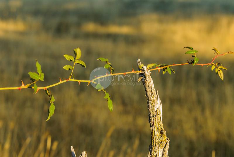 Detalle de un Rosal silvestre.Cantalojas.Sierra de Ayllón.Guadalajara ©Antonio Real Hurtado / PILAR REVILLA